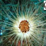 Cerianthus membranaceus - Tube dwelling anemone - Ανεμώνη που ζει σε σωλήνα