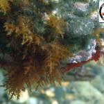 Cystoseira - Brown seaweed