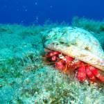 Dardanus calidus - Red Hermit Crab - κόκκινος Ερημίτης κάβουρας