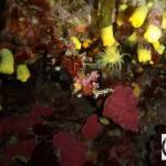 Leptopsammia pruvoti - Yellow coral - Κίτρινο κοράλι