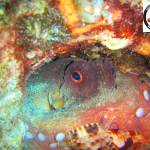 Common octopus eating a Triton's trumpet