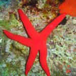 Ophidiaster ophidianus - Pink starfish - Μωβ αστερίας