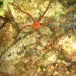 Ophioderma longicauda - Snake brittle star - Οφιόδερμος εύθραυστος αστερίας