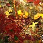 Palinurus elephas - Lobster - Αστακός