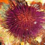 Paracentrotus lividus - Rock sea urchin - Αχινός
