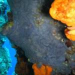 Phorbas tenacior - Blue Encrusting Sponge - Μπλέ Εξωσκελετικό Σφουγγάρι
