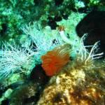 Protula bispiralis - Red fan worm - Κόκκινο σκουλήκι ξεσκονίστρα