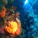 Scyllarides latus - Slipper lobster - Καραβίδα