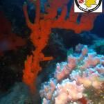 Sponges - Dysidea avara (Pink Sponge - Ροζ Σφουγγάρι) and Axinella cannabina (Stathori - Σταθόρι)-auto