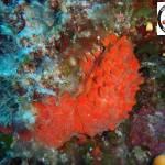 Raspaciona aculeata, Red hispid sponge, Κόκκινο Τριχωτό Σφουγγάρι