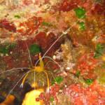 Stenopus spinosus