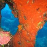 Crambe crambe - Orange-red Encrusting Sponge - Πορτοκαλί-Κόκκινο Εξωσκελετικό Σφουγγάρι