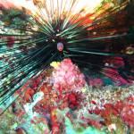 Diadema setosum - Black long spine urchin - Μαύρος Μακρύκανθος Γουρλωμάτης