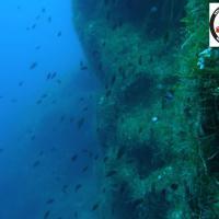 Caulerpa racemosa - Sea Grape - Θαλασσινά σταφύλια