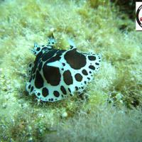 Peltodoris atromaculata - Dotted seaslug - Αγελαδίτσα