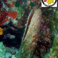 Noble pen shell or fan mussel - Πίννα - Pinna nobilis