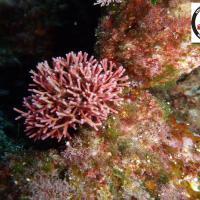Jania rubens - Corallina  - Κόκκινα Κοραλιόμορφα φύκια
