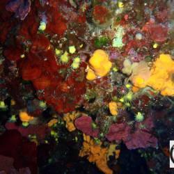 Cavern with Corals, Sponges, Rhodophyta - Κοίλωμα με κοράλια, σφουγγάρια και ροδόφυτα