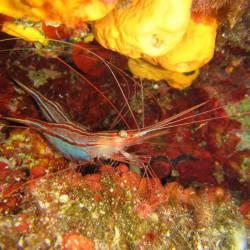 Plesionika narval - Narwhal shrimp - Μονόκερη γαρίδα