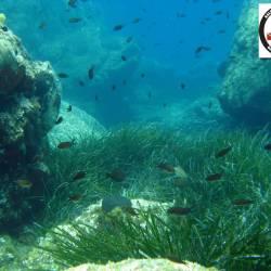 Posidonia oceanica - Neptune Grass or Mediterranean tapeweed - Ποσειδωνία