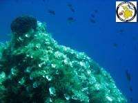 Brown seaweeds -Phaeophyta: Padina pavonica - Peacock's tail - Ουρά του παγωνιού