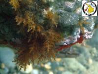Cystoseira (Brown seaweeds -Phaeophyta)