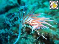 Cratena peregrina - Pilgrim hervia - Προσκυνητής
