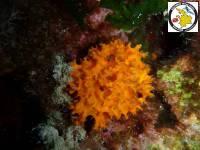 Aplysilla sulfurea, Orange Encrusting Sponge, Portokali Exoskeletiko dfoygari.jpg