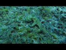 Embedded thumbnail for Cephalopod (Octopus, Cuttlefish, Squid, Nautilus, Argonauta)